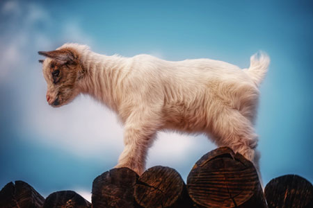 عکس بزغاله شیطون goat baby animal