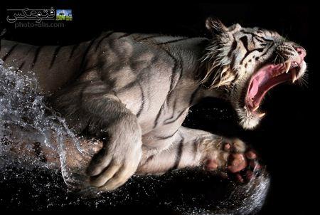 ببر بنگال سفید عصبانی white bangal tiger