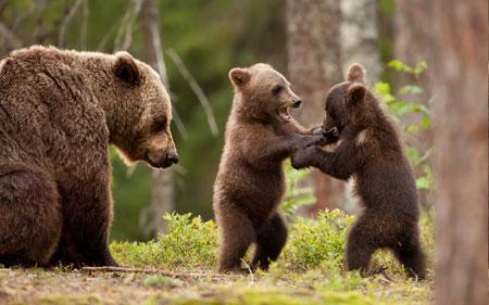 عکس دعوا بچه خرسها bear baby fight