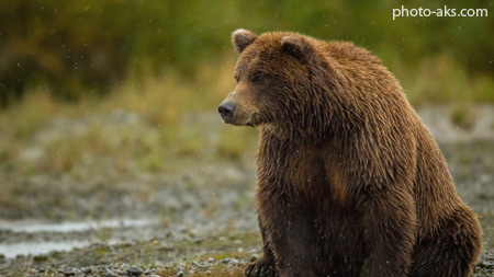 خرس قهوه ای گریزلی brown bear sitting