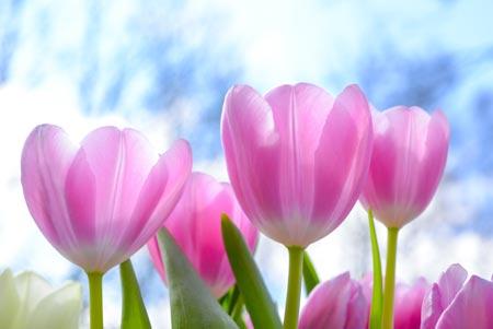 شاخه گلهای لاله صورتی beautiful pink tulip