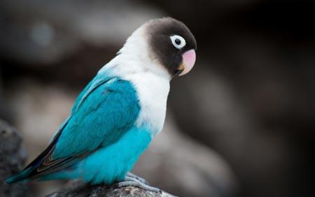 عکس مرغ عشق آبی و سفید beautiful love bird wallpaper