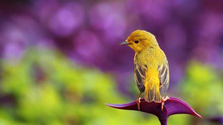 عکس پرنده زرد بهاری beautiful yellow bird
