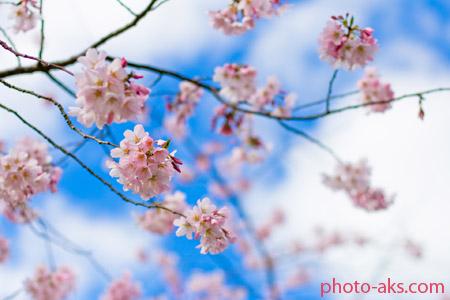 زیباترین شکوفه های بهاری beautiful cherry blossom