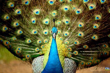 دم زیبای طاووس نر beautifull peacock