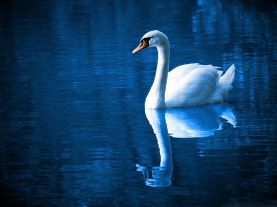 عکس زیبای قو در دریاچه beautiful swan