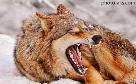 عکس گرگ ها beautiful wolfs wallpapers