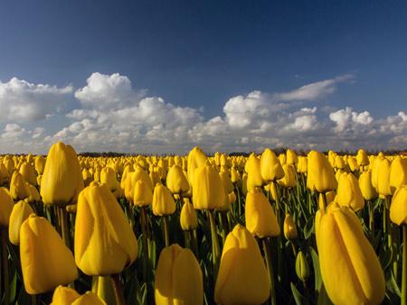 مزرعه گلهای لاله زرد yellow tulips field