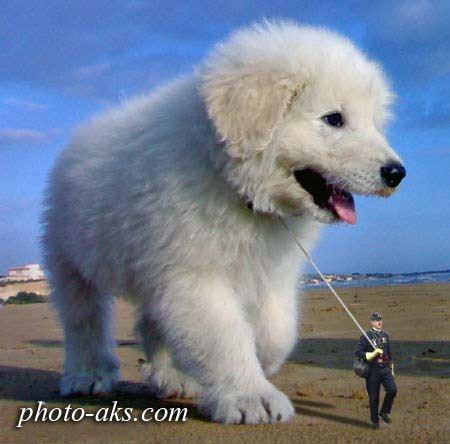 بزرگترین سگ دنیا biggest dog
