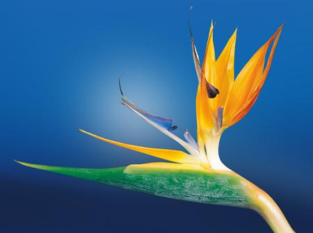 گل زیبای مرغ بهشت birds of paradise flower