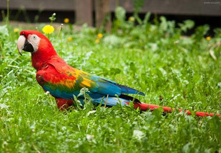 طوطی ماکائو رنگارنگ روی علفزار colorful macaw parrot bird