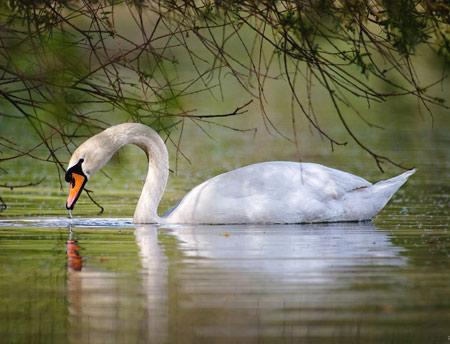 عکس پرنده قو زیبا در دریاچه birds swan lake