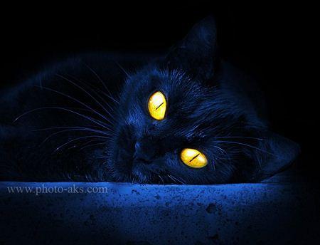 گربه سیاه با چشم زرد و درخشان black cat