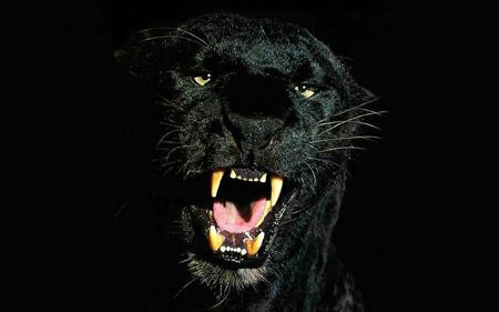 عکس نعره پلنگ سیاه black panther pictures