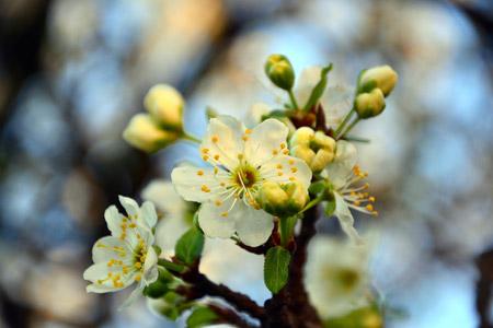 شکوفه درخت گیلاس در بهار blossom cherry spring branch