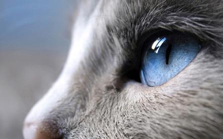 عکس زیبا نگاه گربه چشم آبی blue eyes cat