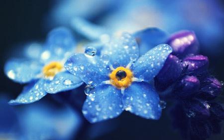 عکس گل آبی با قطرات باران blue macro flower drop