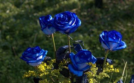 عکس شاخه گل طبیعی رز آبی blue rose flowers wallpaper