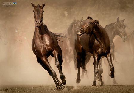 عکس زیبای اسب ها در حال دویدن brown horse in runing