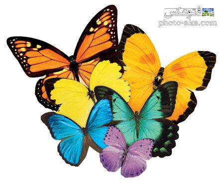 گالری عکس پروانه ها butterfly photo gallery