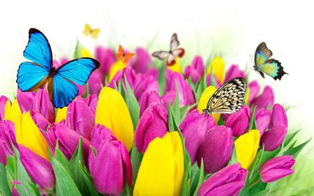 عکس پروانه ها روی گلهای لاله colorful butterfly on flowers