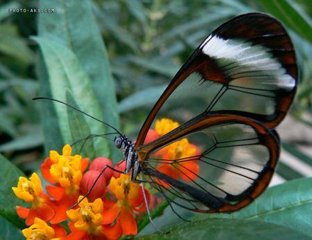 پروانه شیشه ای butterfly photo aks