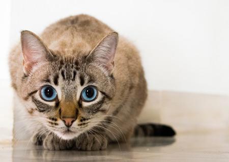 نگاه گربه چشم آبی در کمین cat blue eyed glance