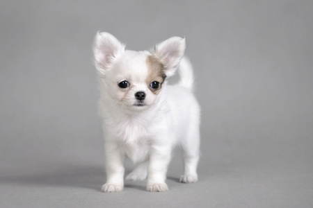 سگ سفید کوچولو چی واوا chihuahua white dog