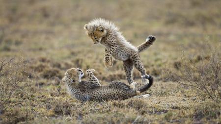 عکس بچه یوزپلنگ های ایرانی iranian chita kids play