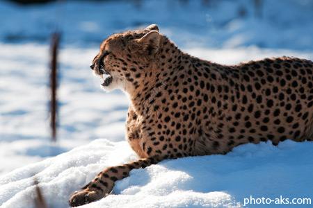 عکس چیتا در برف زمستانی chita in snow