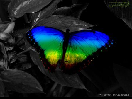 پروانه رنگارنگ زیبا colorfull butterfull
