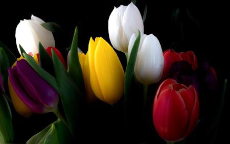 زیباترین شاخه گل های لاله رنگارنگ colorfull tulips flowers