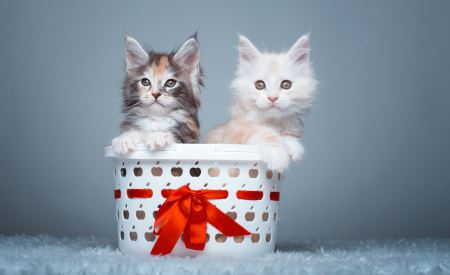 بچه گربه ها داخل سبد two cute kittens