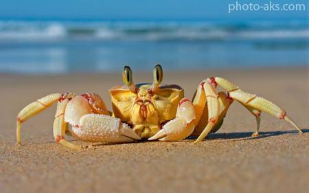 خرچنگ دریایی روی شن ساحل crab sea sand beach