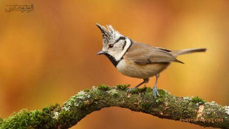 عکس پرنده کوچک کاکل دار little crested bird