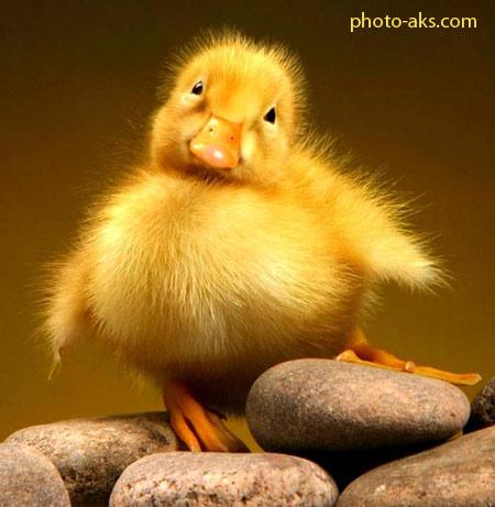 جوجه اردک ناز cute duck
