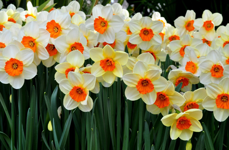والپیپر زیبا از گلهای نرگس wallpaper of daffodils flower