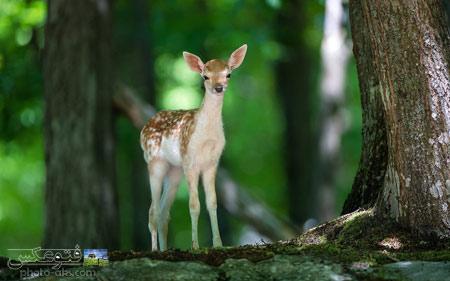 عکس بچه گوزن در طبیعت deer baby in nature