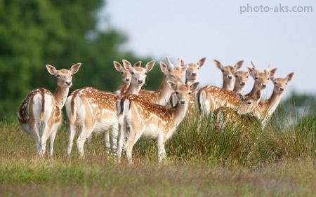 عکس دسته جمعی آهو ها group of deer