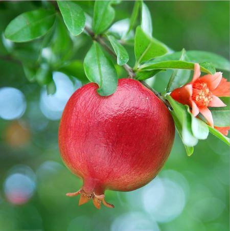 میوه انار روی درخت derakht anar