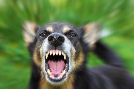 عکس پارس سگ هار وحشی dog barking picture