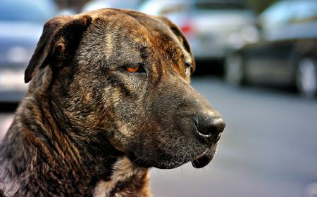 عکس سگ نزاد امریکایی غمگین American Staffordshire Terrier