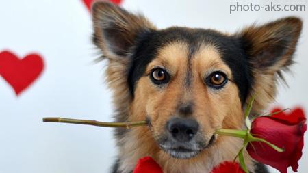 سگ با شاخه گل رز dog rose flower