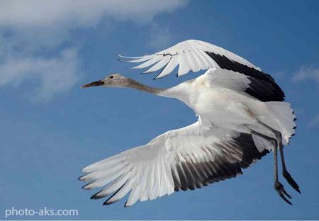 درنا در حال پرواز dorna