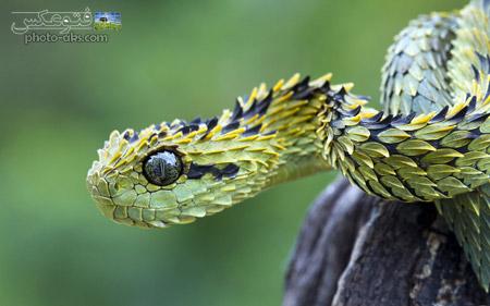 مار پوست اژدهایی سمی dragon snake