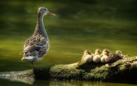 پوستر زیبا از اردک ها duck family wallpaper