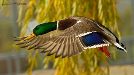 پرواز اردک وحشی duck flying
