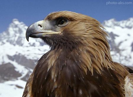 عقاب پرنده شکاری eagle birds of prey