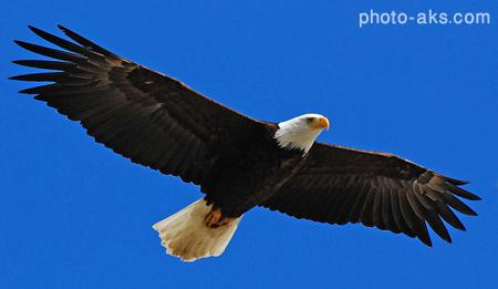 سلطان پرندگان eagle open wing