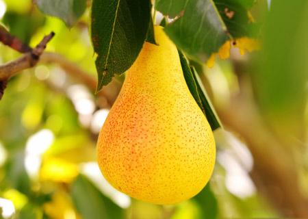 میوه گلابی رسیده روی درخت grusha pear on tree
